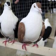 Выставка голубей 2017 фотографии