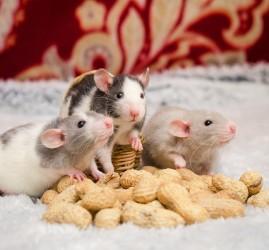 «Декоративная крысота» в Музее естественной истории Татарстана 2018