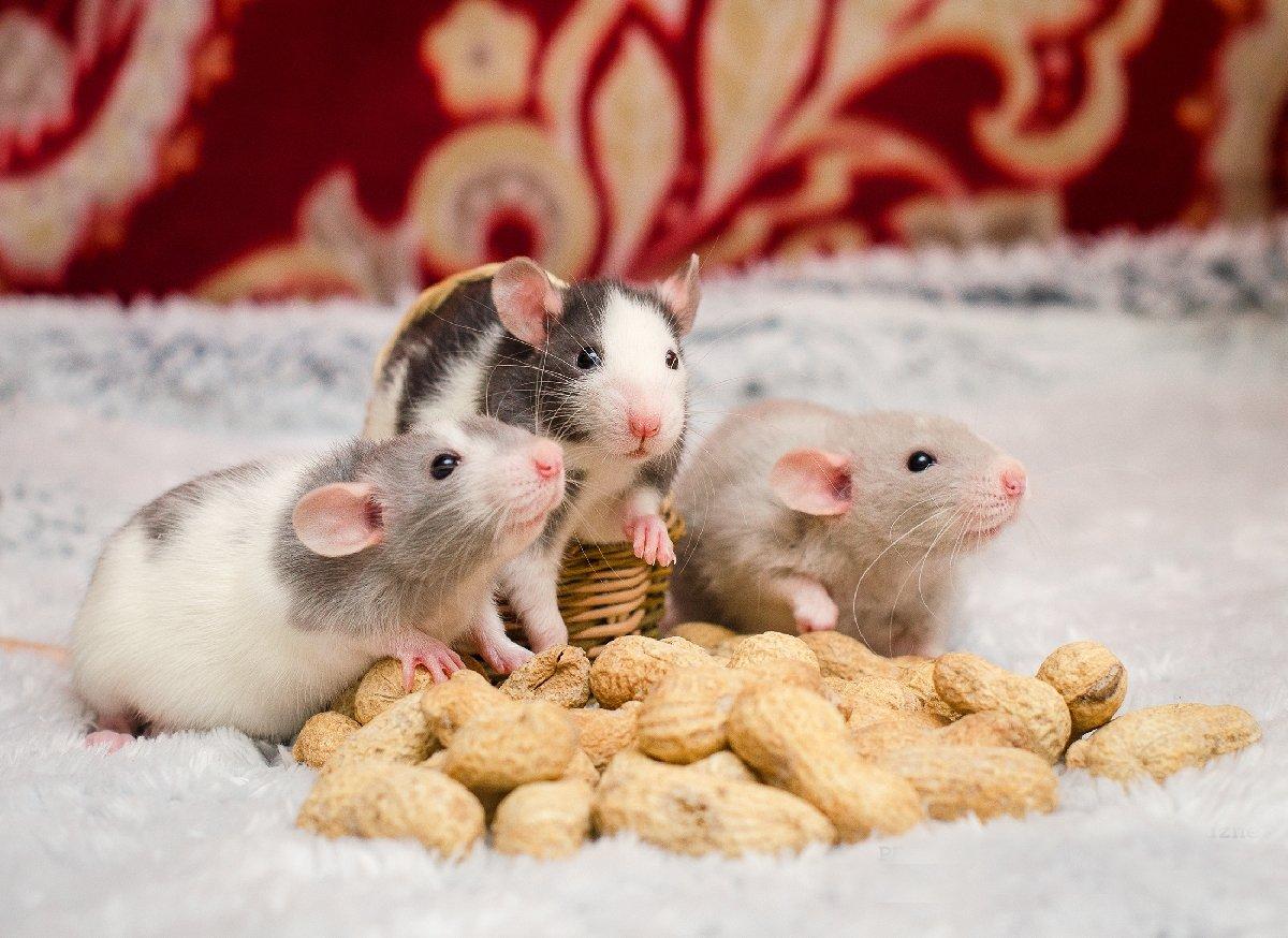 «Декоративная крысота» вМузее естественной истории Татарстана 2018
